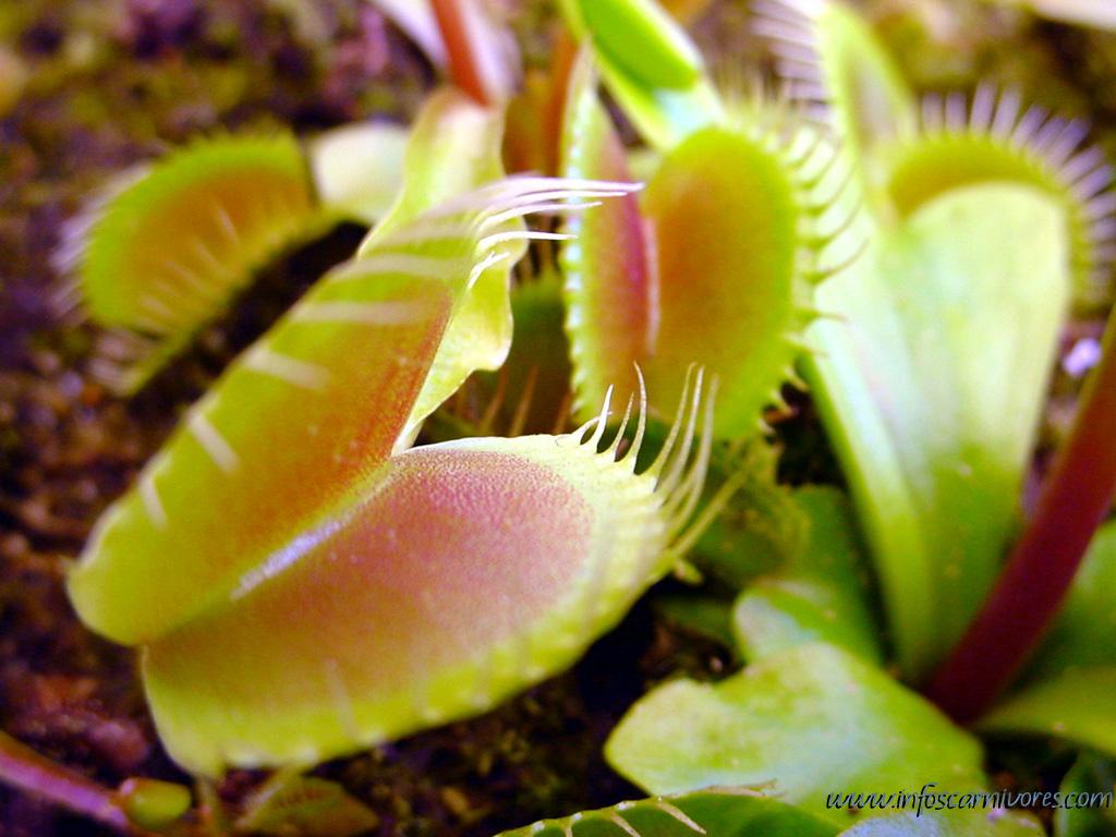 plante carnivore reportage