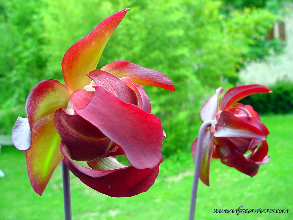 plante carnivore en fleur