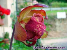 plantes carnivores sarracenia entretien